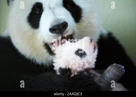 Giant panda (Ailuropoda melanoleuca) female, Huan Huan, holding baby, aged two months, Beauval Zoo, France, October 2017. - Stock Photo