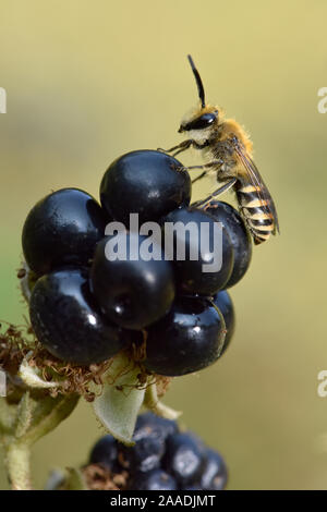 Ivy bee (Colletes hederae) new species to the UK in 2001. Male resting on Blackberry, Oxfordshire, England, UK, September - Stock Photo