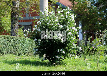 Decorative Hibiscus syriacus Red Heart or Rose of Sharon Red Heart variety flowering hardy deciduous shrub plant filled with fully open blooming white - Stock Photo