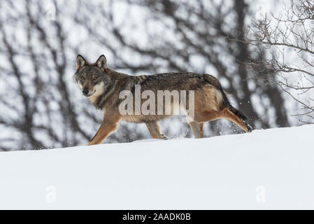 Wild Apennine wolf (Canis lupus italicus) in snowy landscape. Central Apennines, Abruzzo, Italy. February. Italian endemic subspecies. - Stock Photo