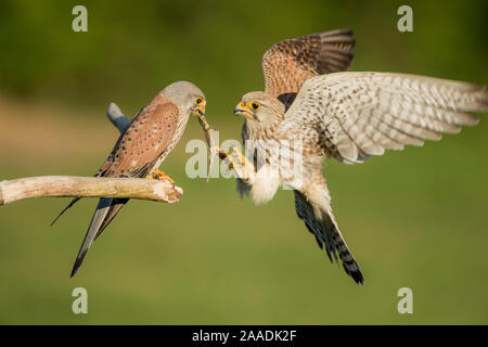 Female kestrel (Falco tunniculus) taking lizard prey gift  from male,   Mayenne, France - Stock Photo