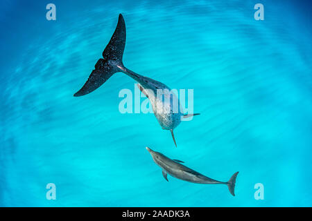 Atlantic spotted dolphin (Stenella frontalis) mother and young swimming over a shallow, sandy seabed. The adults are spotted and the younsters are plain coloured. Great Bahama Bank, North Bimini, Bahamas. West Atlantic Ocean. - Stock Photo