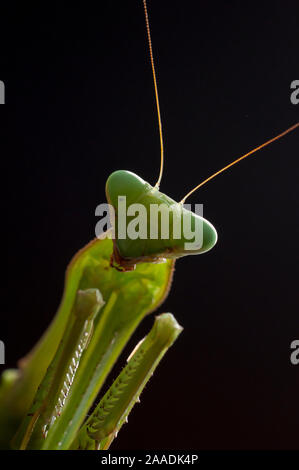 Giant African mantis (Sphodromantis viridis) portrait, captive, occurs in West Africa. - Stock Photo