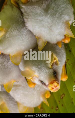 White tent making bat (Ectophylla alba) roosting in tree, La Selva Field Station, Costa Rica. - Stock Photo
