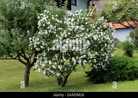 Hibiscus syriacus Red Heart or Rose of Sharon Red Heart variety flowering hardy deciduous shrub plant growing as small decorative tree - Stock Photo