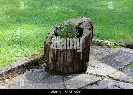 Hollowed out old tree stump filled with dark soil and small plants left in family house backyard on cracked stone tiles surrounded with uncut grass - Stock Photo