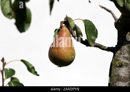Single fully ripe pear ready for picking growing from small branch surrounded with few green leaves in local home garden in front of family house wall - Stock Photo