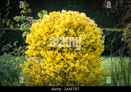 A fantastically festooned flowering Forsythia shrub smothered in bright yellow florets in mid-Spring in an English garden UK - Stock Photo