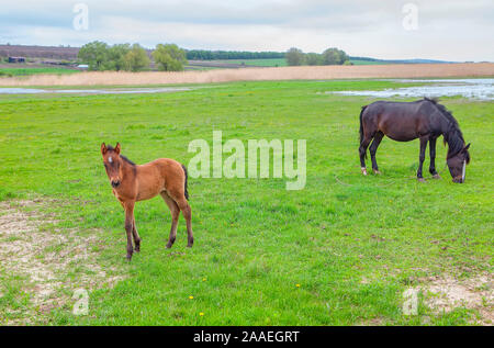 Mare with foal grazing on the green meadow - Stock Photo