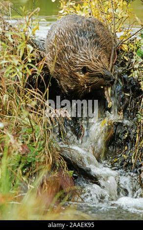 Biber (Castor Canadensis) - Stock Photo