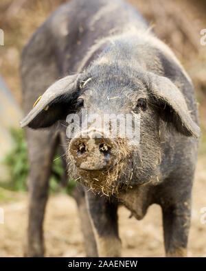 Pig showing proboscis (Cinta Senese) - Stock Photo