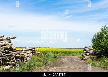Timber industry. Cut tree trunks in the forest belt, logs at the field of sunflowers - Stock Photo