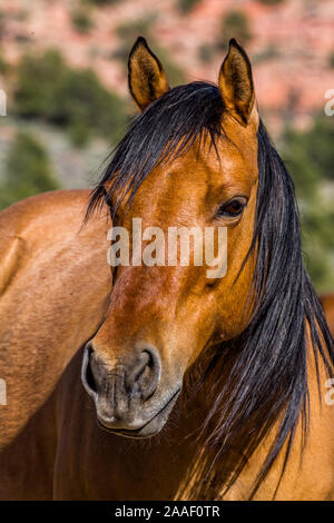 Wild mustang in the desert of Southern Utah, close-up headshot with his ears up. - Stock Photo