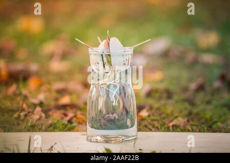 Avocado sprout grows from the seed in a glass of water. A living plant with leaves, the beginning of life on a wooden plane outside. - Stock Photo
