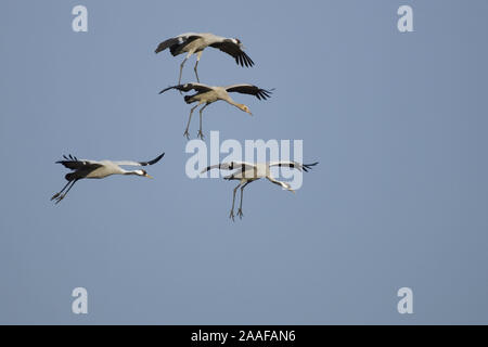 Fliegende Kraniche (Grus grus) mit Jungvogel - Stock Photo