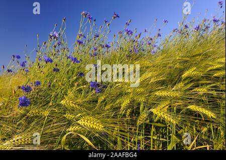 Kornblumen im Getreidefeld Stock Photo