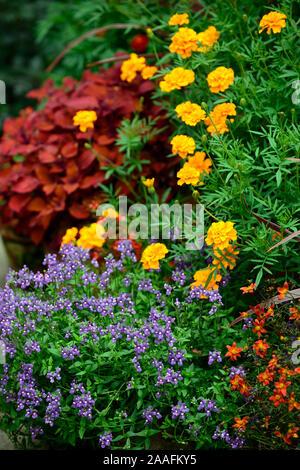Coleus Campfire,Solenostemon scutellarioides Campfire,diaschia,tagetes cinnabar,marigold,orange,rust,colour,color,flowers,foliage,garden,plants,pots,c - Stock Photo