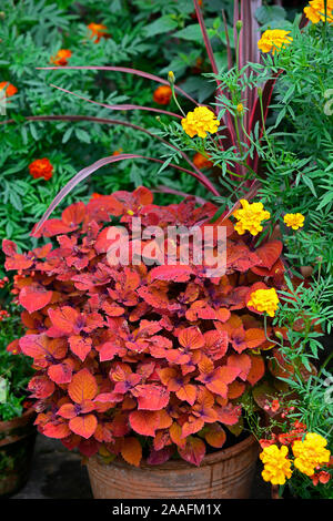 Coleus Campfire,Solenostemon scutellarioides Campfire,tagetes cinnabar,marigold,orange,rust,colour,color,flowers,foliage,garden,plants,pots,containers - Stock Photo