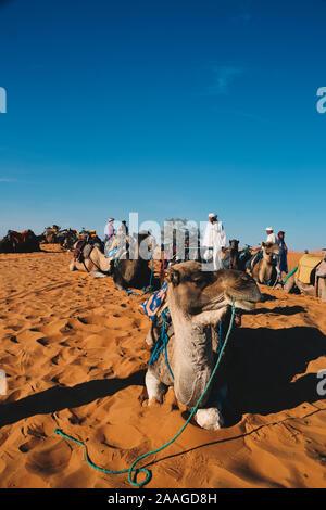 Merzouga, Errachidia / Morocco - 10 03 2019: Dromedary ready to go for a walk - Stock Photo