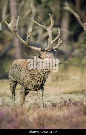 Rothirsch, Cervus elaphus - Stock Photo