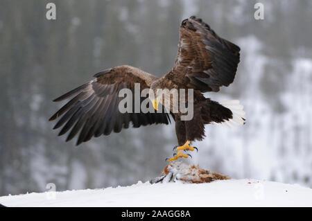 Adler, Greifvogel, Haliaeetus albicilla, white-tailed sea eagle, Winter - Stock Photo