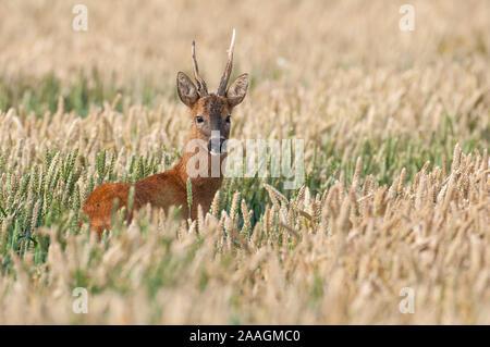 Junger Rehbock im Getreidefeld - Stock Photo