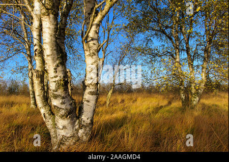 Herbstliche Birke im Moor - Stock Photo