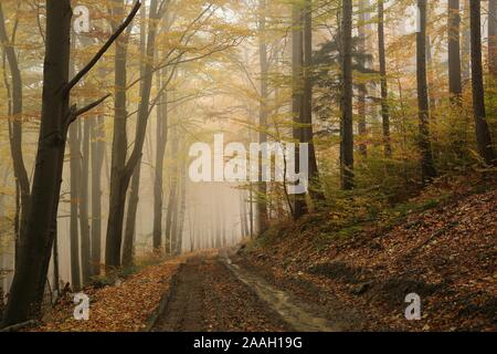 Path through the beech forest on a misty autumn weather. - Stock Photo