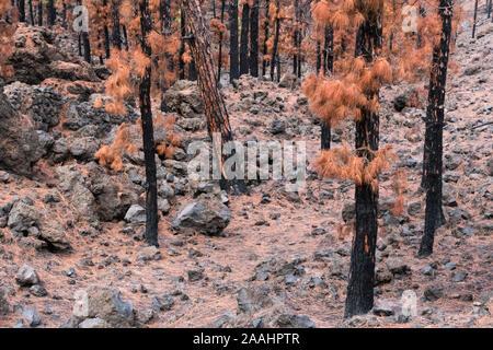 Burned Canary pine trees, La Palma Island, Canary Islands, Spain - Stock Photo