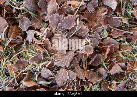 Beech leaves on floor covered in hoar frost on a late autumn morning. North Yorkshire, UK.