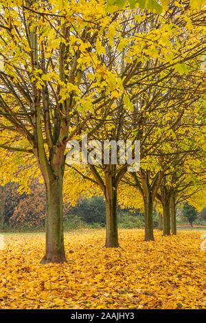 Autumn leaves uk autumn trees Autumn uk Avenue of trees with autumn leaves Row of trees with autumn colours England uk gb Europe - Stock Photo