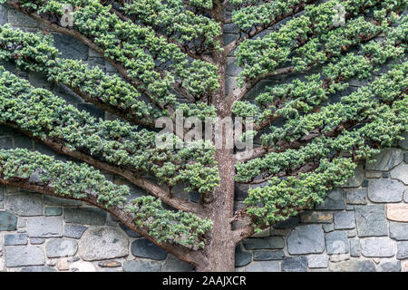 Very unusual flat tree with rock wall behind it, nice abstract patterns, geometrical shape of fishbone diagram or fault tree diagram. - Stock Photo