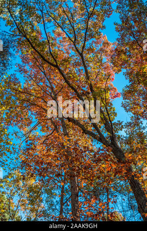 Looking up at colorful autumn trees against the vibrant blue skies on a bright sunny day in fall copy space - Stock Photo