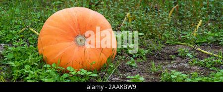Big orange pumpkins growing in the garden. Halloween pumpkins in a vegetable garden on a farm, autumn harvest season. Organic natural food. Pumpkin - Stock Photo