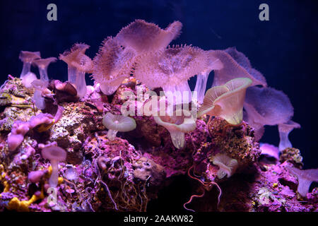 Alive corals in the Eilat's Coral Reef in Israel. Exquisite colors and marine surprises - Stock Photo