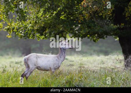 Weisse Hirschkuh im hohen Gras unter altem Baum Dänemark
