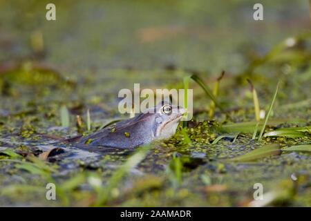 Moorfrosch bei der Paarung - Moor Frog - Stock Photo
