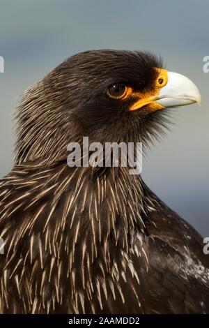 Falkland Karakara Portrait - Stock Photo