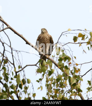 A Female Eurasian Sparrowhawk  (Accipiter nisus) perched on a branch in a garden in East Midlands, UK. - Stock Photo
