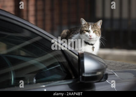Downing Street, London, UK. 16th June 2015. Larry, Chief Mouser to the Cabinet Office, takes time out resting on the bonnet of the Prime Minister's Ja - Stock Photo