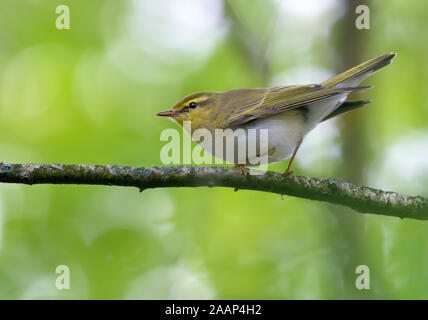 Adult male wood warbler perched with lifted tail on small branch in green woods - Stock Photo