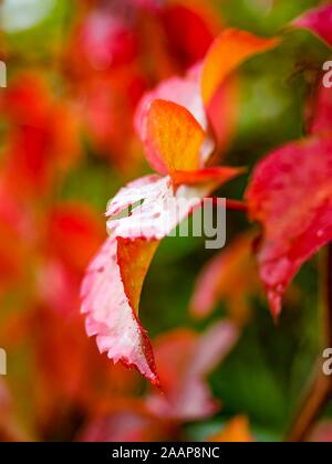 Red leaves after rain one leaf isolated - Stock Photo