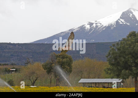 Cinereous Harrier (Circus cinereus) female. Hawk, hunting above a farmers crop in Patagonia. - Stock Photo
