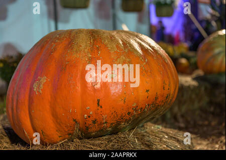 A massive pumpkin presented on a stack of hay in Upstate New York - Stock Photo