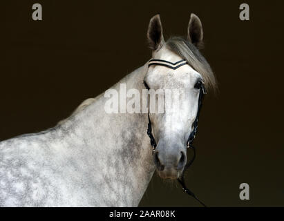 Pure Spanish Horse or PRE,dapple gray mare portrait against  dark - Stock Photo