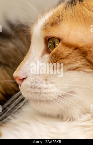 Close-up street cat portrait of European Shorthair breed - Stock Photo