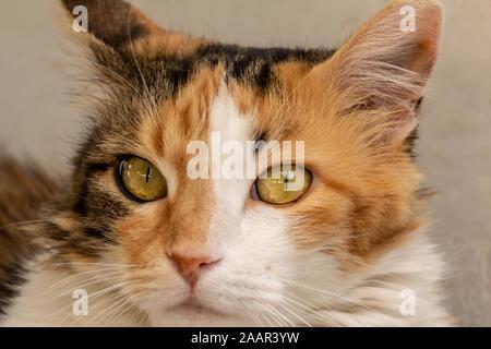 Close-up street cat portrait of European Shorthair breed - Stock Photo