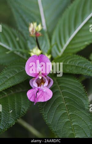 Drüsiges Springkraut (Impatiens glandulifera) Stock Photo