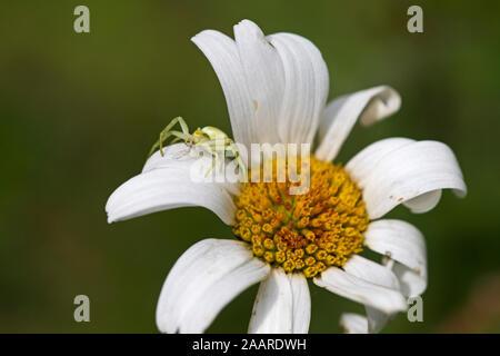 Krabbenspinne (Misumena vatia) - Stock Photo