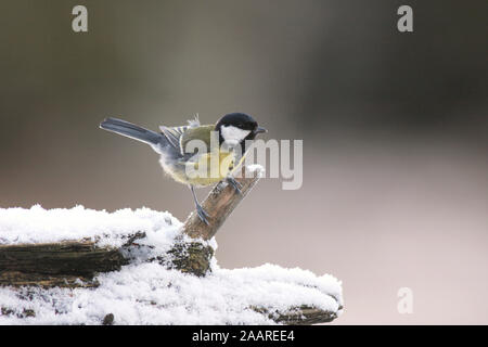 Kohlmeise, Parus major - Stock Photo